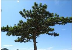 Sinu nimel istutatud puu - Tamm