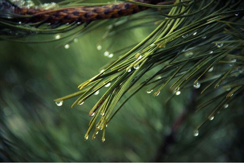 Высадка 3 деревьев на Ваше имя - сосна